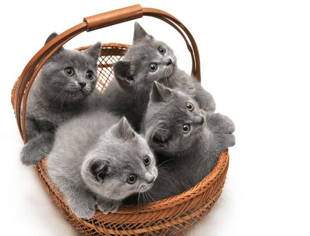 Four cute british kittens siting in basket on white background