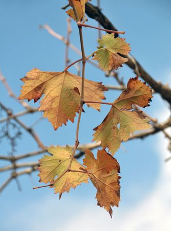 Few yellow leaves of vine on sky background Stock Photo