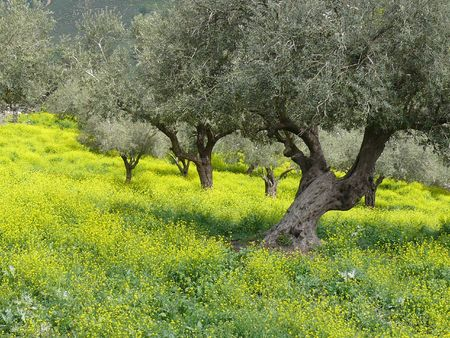 Row of old olives surrounded by spring yellow blossom