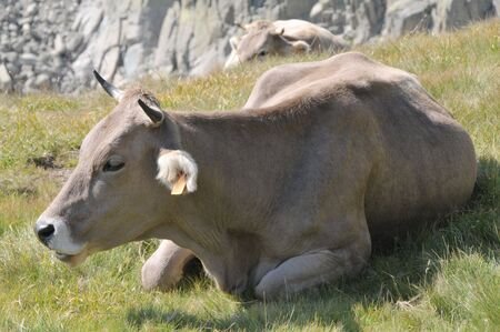 View of a lying brown cow. photo