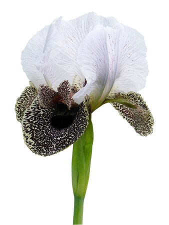 Close-up of stripped iris isolated on white background Stock Photo
