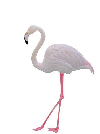 Pink flamingo on white background.