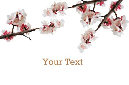 Close up of blossoming branch on white background