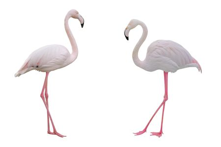 Pink flamingoes on white background.