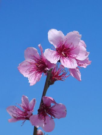 Close up of blossoming peach branch on sky background.