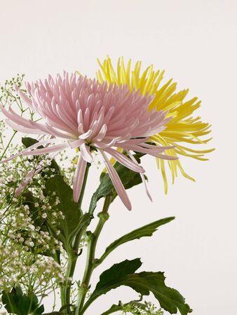 Close-up of two beautiful chrysanthemum flowers. Stock Photo