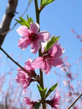 Close up of blossoming peach branch on sky background. Stock Photo - 7196831