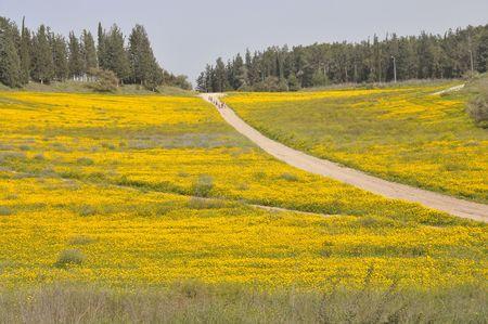 View of blossoming yellow field. Фото со стока