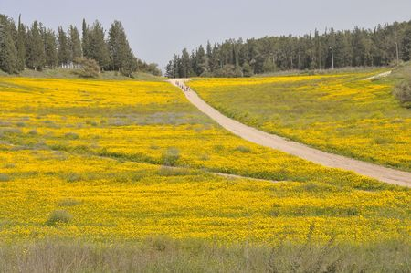View of blossoming yellow field. Stock Photo
