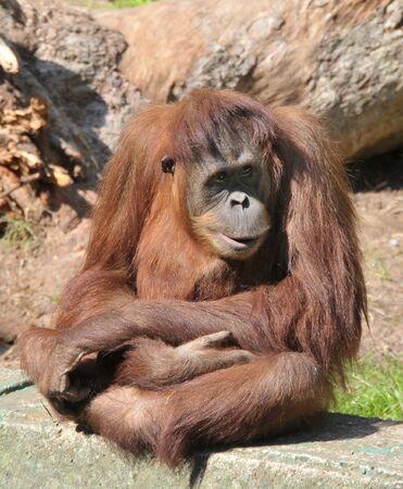View of a sitting orangutan in a Zoo.