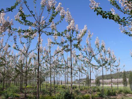 View of paulownia tree plantation.