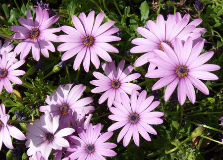 Close up of texture of of Osteospermum, known as African Daisy. photo