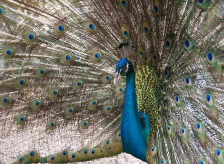 strut: Closeup view of al peacock om background of tail feathers.