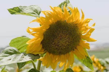 Closeup of single sunflower on sky background  Stock Photo