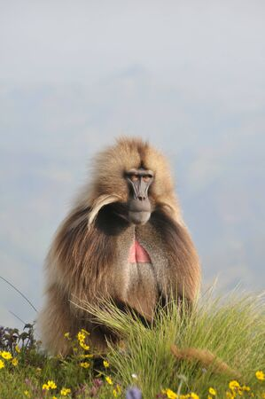 Closeup view of a male baboon in Simien mountains park, Ethiopia Фото со стока