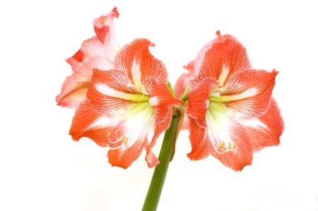 hippeastrum flower: Clous-up of red hippeastrum flower on white background  Stock Photo