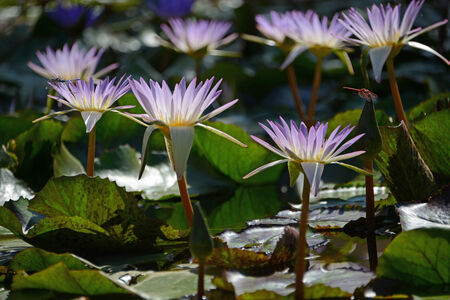 hydrophyte: Closeup of beautiful violet water lilies on green background.