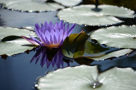 hydrophyte: Closeup of beautiful violet water lily on green background. Stock Photo