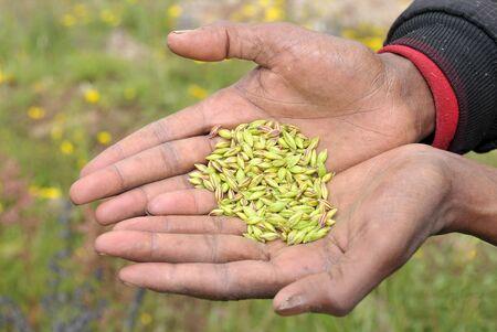 View of farmer hands keeping a heap of wheat seeds.