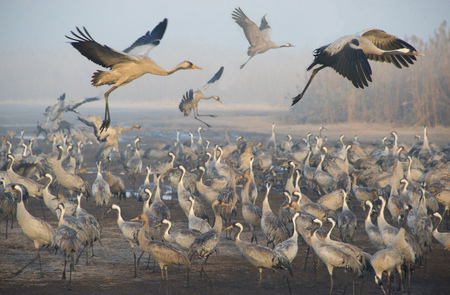 View of migrating cranes in the morning. Фото со стока
