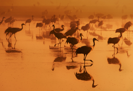 View of migrating cranes in the morning. Stock Photo