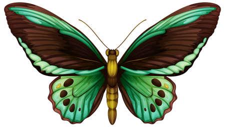 Illustratie van een gemeenschappelijke groene Birdwing (Ornithoptera Priamus),