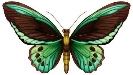 papilionidae: Illustration of a common green birdwing (Ornithoptera priamus), Illustration