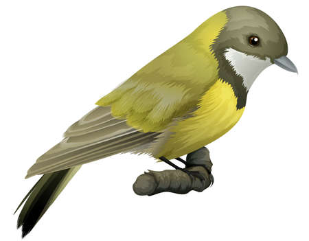 bird's eye view: Illustration of an Australian Golden Whistler  Pachycephala pectoralis