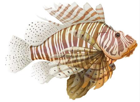 pterois: Illustration of a lionfish - Pterois  genus  Illustration