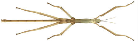 stick insect: Illustration of a mantis stick insect