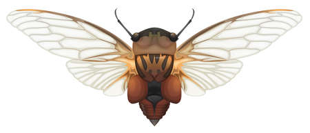 Illustration of a Double Drummer cicada  Thopha saccata