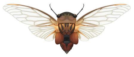 cicada: Illustration of a Double Drummer cicada  Thopha saccata