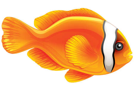 single fin: Illustration of a tomato clownfish - Amphiprion frenatus Illustration