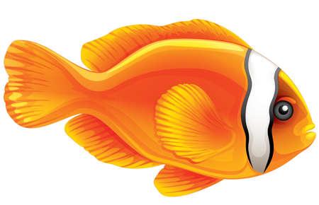 Illustration of a tomato clownfish - Amphiprion frenatus Stock Vector - 15915117