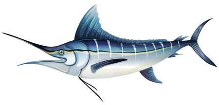 saltwater: Illustration of an Atlantic blue marlin  Makaira nigricans  Illustration