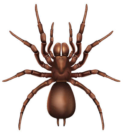Illustration of a Sydney funnel-web spider  Atrax robustus