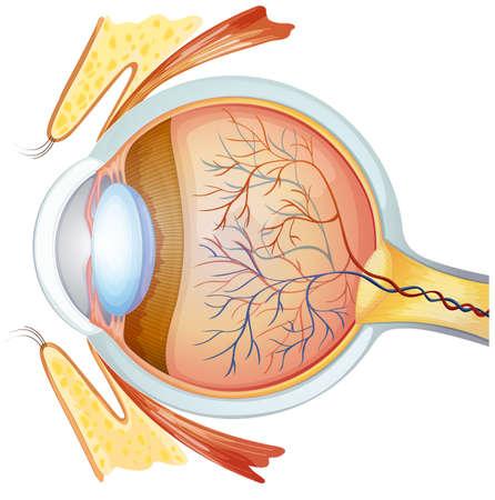 cornea: Illustrazione di una sezione trasversale dell'occhio umano