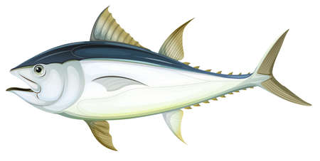 Illustration of an Atlantic bluefin tuna (Thunnus thynnus)