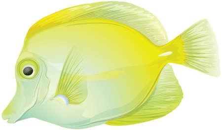 yellow tang: Illustration of a yellow tang (Zebrasoma flavescens)