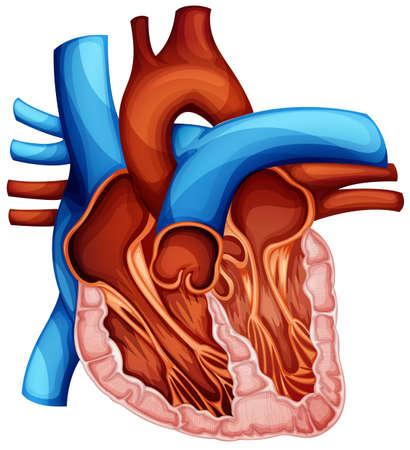 corazon humano: Ilustración de una sección transversal del corazón humano