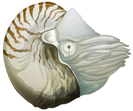 Illustration of a Nautilus (genus) Vector