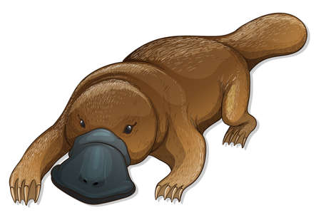 oviparous: Illustration of a platypus (Ornithorhynchus anatinus)
