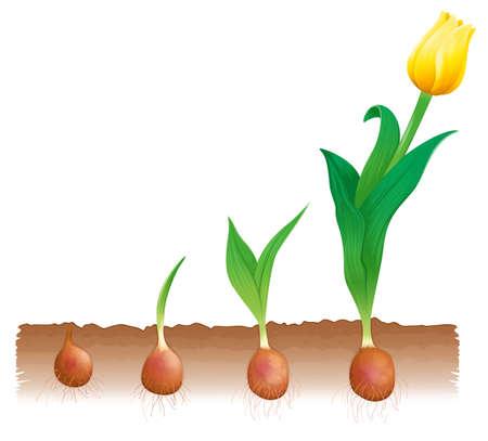 cutaway drawing: Illustrazione delle fasi di crescita tulipano Vettoriali