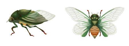 cicada: Illustration of a green grocer cicada (Cyclochila australasiae)