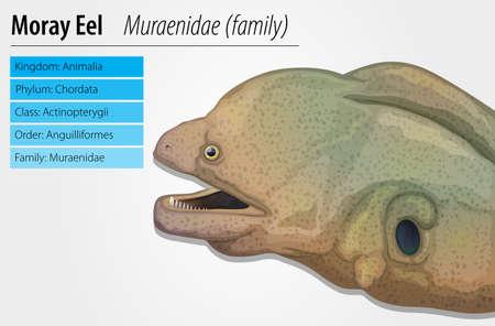 actinopterygii: Illustration of a moray eel - Muraenidae Illustration