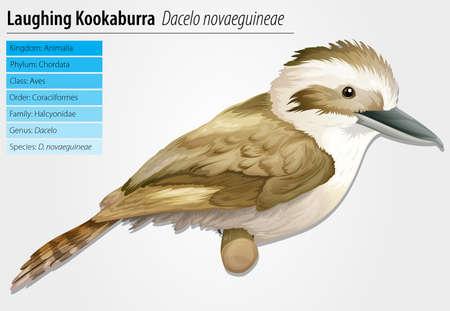 coraciiformes: Laughing Kookaburra - Dacelo novaeguineae Illustration