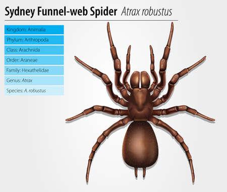 spiders web: Sydney funnel-web spider - Atrax robustus Illustration