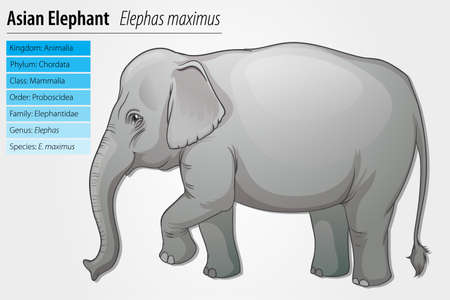 species plate: Illustration of an Asian elephant - Elephas maximus Illustration