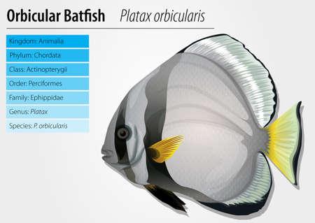actinopterygii: Illustration of orbicular batfish - Platax orbicularis