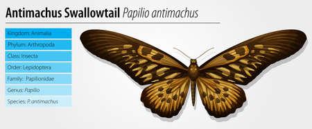 provexemplar: Giant Afrikansk Swallowtail - Papilio antimachus Illustration